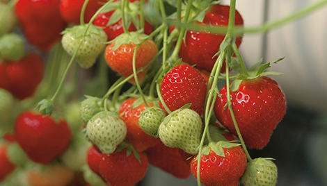 luna fungicide header strawberry