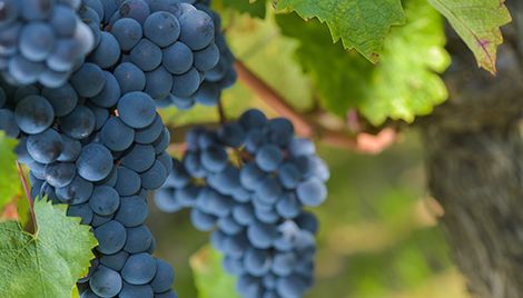luna fungicide header wine grapes