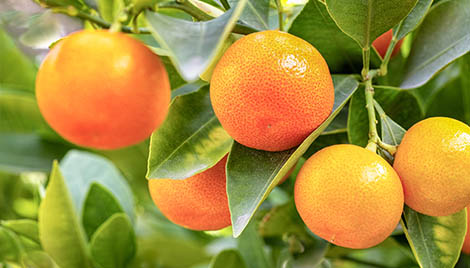 close up of ripe orange on tree alion citrus insecticide
