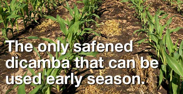 the only safened dicamba that can be used early season