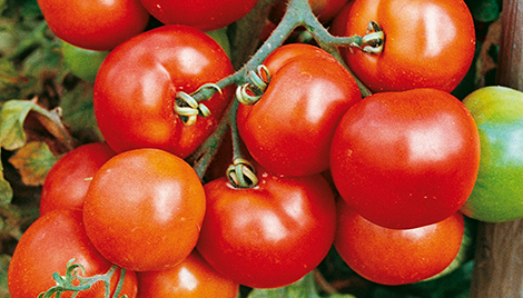 velum prime insecticide header tomatoes