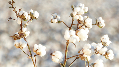 Aeris seed-applied insecticide nematicide for cottonseed banner
