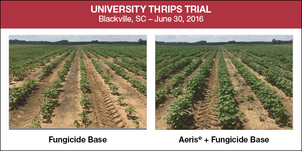 University Thrips Trial photo demonstrating results showing crops treated with Aeris fungicie yielding larger plants
