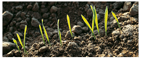 seed treatments protect emerging seedlings