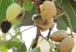 prevention is key for california tree nut growers