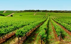 protect grape vines from intruding weeds