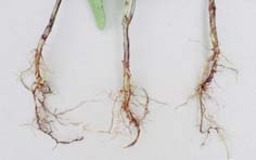 Don't Let Rhizoctonia Sneak Up on Soybean Seedlings