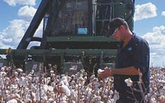 cotton yields and fiber quality