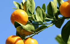 best practices for monitoring scale in citrus