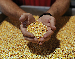 Farmer holding a pile of corn seeds.