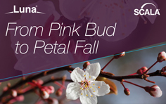 Luna Scala - From Pink Bud to Petal Fall