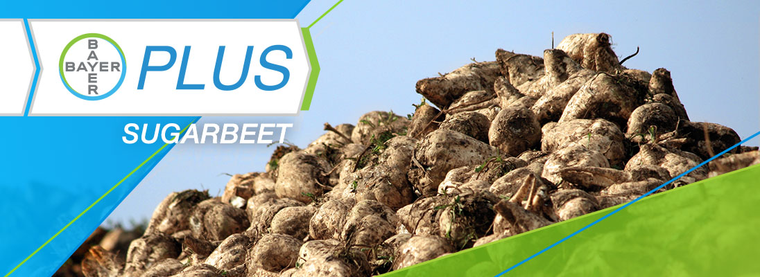 Bayer plus sugarbeet program logo with sugarbeets