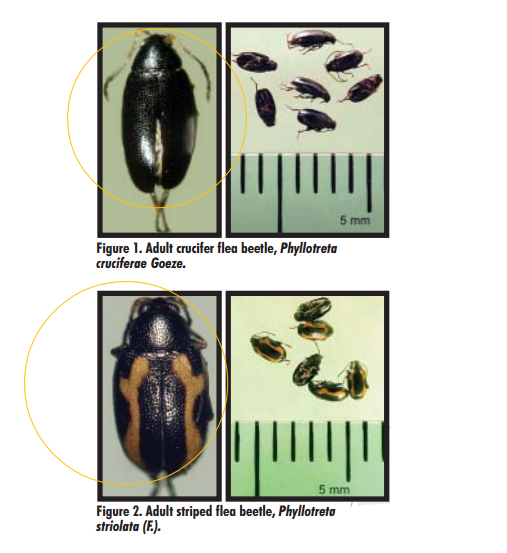 Adult crucifer flea beetle