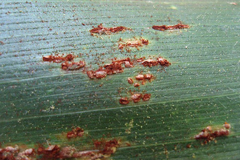 Common corn rust (shown here), caused by Puccinia sorghi, appears as small, oval, dark-reddish-brown pustules scattered over both the top and bottom of the corn leaf. Conversely, southern corn rust only sporulates on the top of the leaf. This is one of the best ways to distinguish between the two types of rust. Photo courtesy of Randy Myers, Bayer.