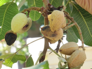 Botryosphaeria threatens California tree nut growers year-round