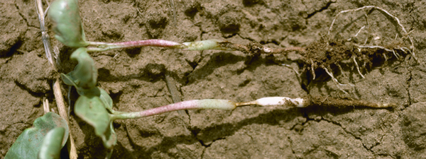 Cotton plants infected with Rhizoctonia (soreshin), which is a perennial fungicide resistance challenge.