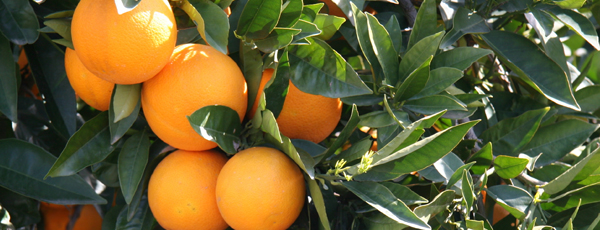 Close-up of oranges in a citrus grove