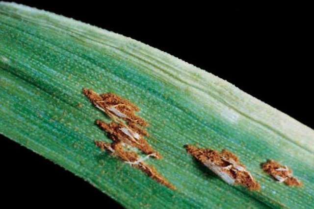 Stem rust spots are more elongated than leaf and stripe rust spots. It is also called black rust because spores turn black later in the season.
