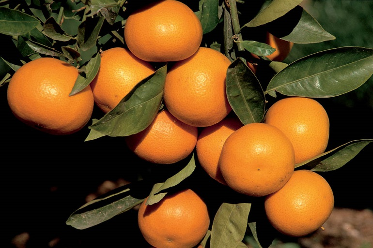 Weeding Out the Competition: Integrated Weed Management in California Citrus