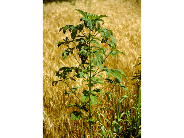 Mature giant ragweed. This weed is an erect summer annual that can be identified by its vertical and branching growth habit. The weed can reach enormous heights – as much as 15 feet – and thrives in fertile agricultural soils. (c) AgStock Images/Dennis Barnes