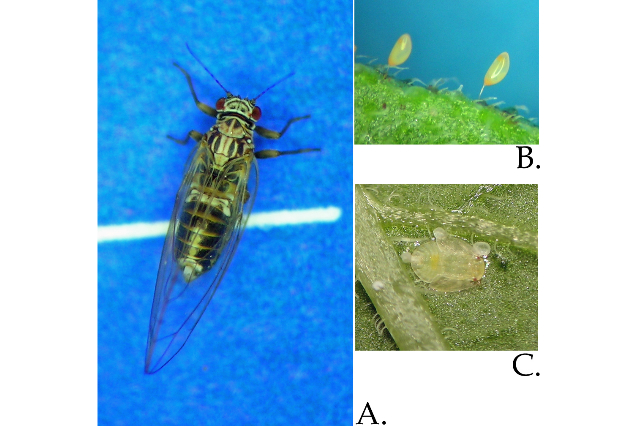 Potato psyllid life stages include adult (A), egg (B) and nymph (C). (Photos courtesy Andy Jensen/Northwest Potato Research Consortium)