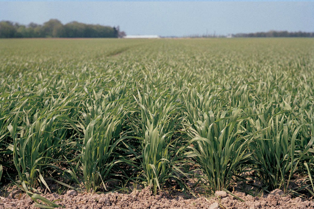 Climate and yield potential make winter wheat the wheat variety of choice in the Midwest and Central Great Plains. Photo courtesy of Bayer.