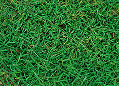 aerial view of crabgrass in field