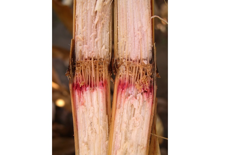 GIBBERELLA STALK ROT: This common Midwest disease causes a shredded and stringy pith that is pink or red in color. Photo courtesy of  Gary Munkvold, Iowa State University.
