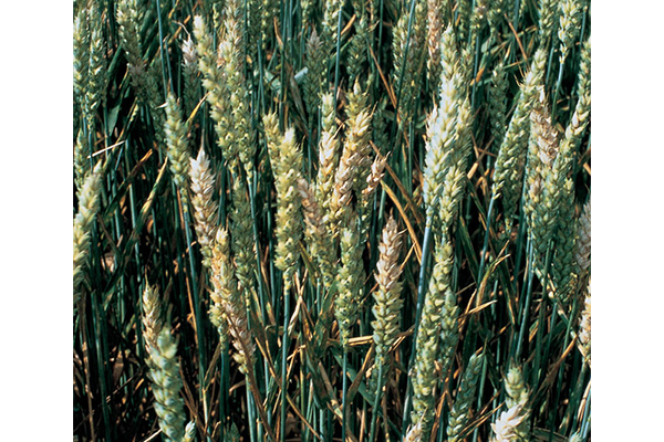 Wheat heads exhibit symptoms of head blight caused by Fusarium graminearum. The Fusarium fungus can produce mycotoxins, which can be harmful to humans and livestock and lower the market value of the crop.