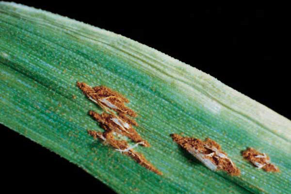 Stem rust spots are more elongated than leaf and stripe rust spots. Stem rust is also called black rust because spores turn black later in the season. With severe infections, the disease can turn a healthy crop into a tangle of black stems only weeks away from harvest, resulting in shriveled grain.