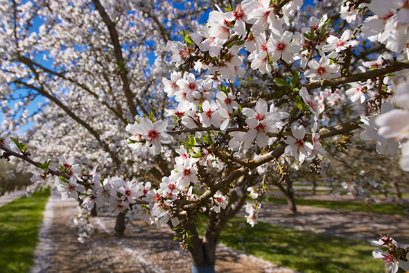 Almond tree in full bloom from pollination