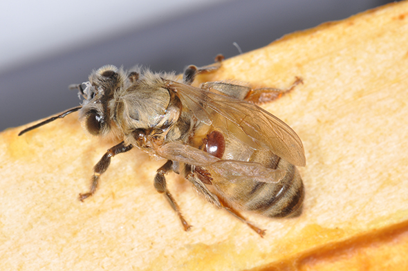 Worker honey bee with two varroa mites on abdomen