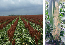 Healthy Sorghum field (left) and Sorghum Aphid pest (right)