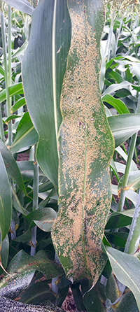 Aphids covering a sorghum plant