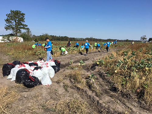 Bayer employees glean collards with Society of St. Andrew