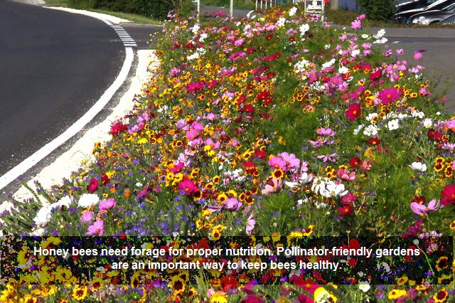 Honey bees need forage for proper nutrition. Pollinator-friendly gardens are an important way to keep bees healthy