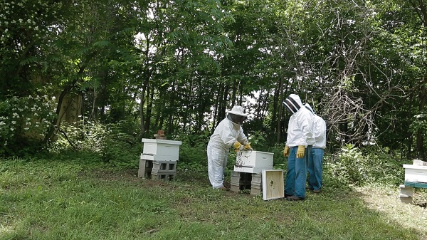 Beekeepers inspect hives