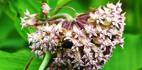 Bee on Milkweed flower closeup