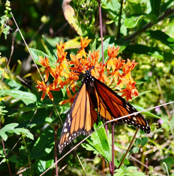 Monarch Feeding
