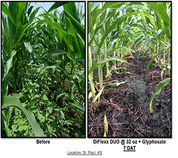 Corn field before and after DiFlexx DUO herbicide