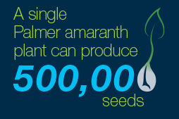 Palmer amaranth can produce 500,000 seeds