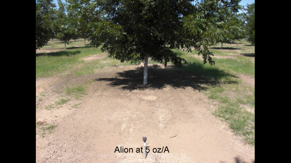 Pecans; Ariz.; Sept. 2009. Weed control seven months after
