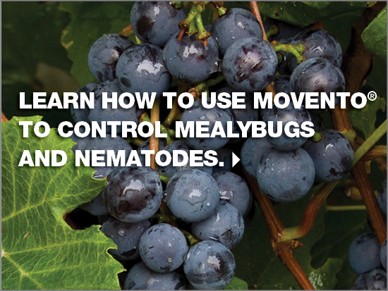 Click here to learn how to use Movento to control mealybugs and nematodes