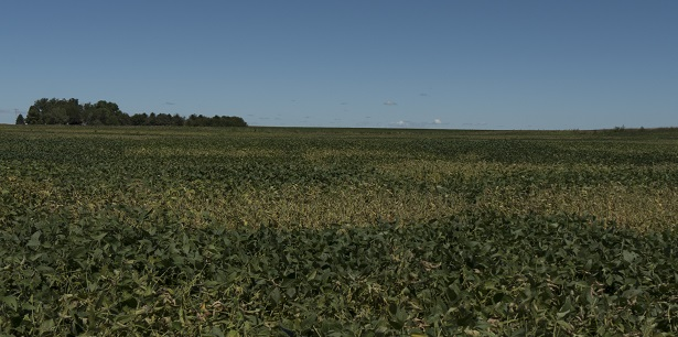 soybean field white mold