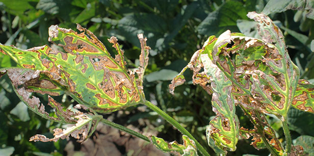 Soybean crops with Sudden Death Syndrome symptoms