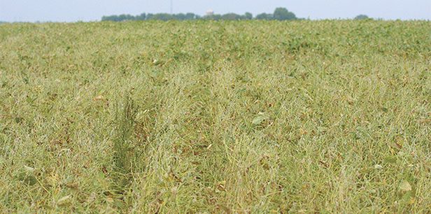 Soybean field infected with Sudden Death Syndrome